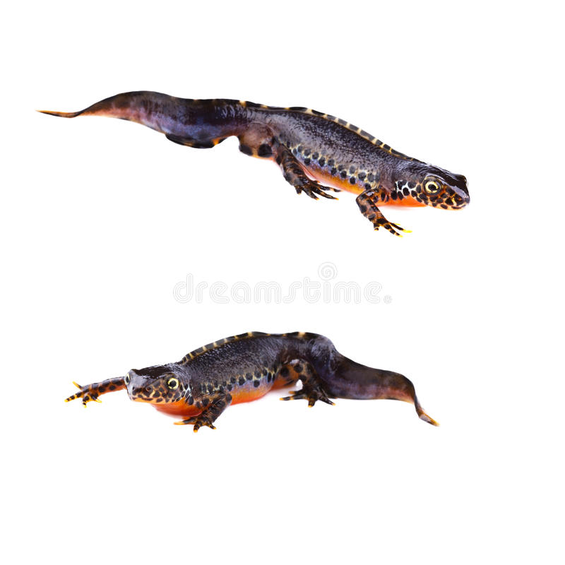 Alpine newts (Triturus alpestris) stock photos