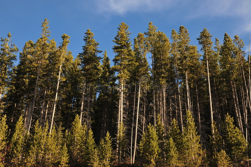 Alpine pine forest royalty free stock images