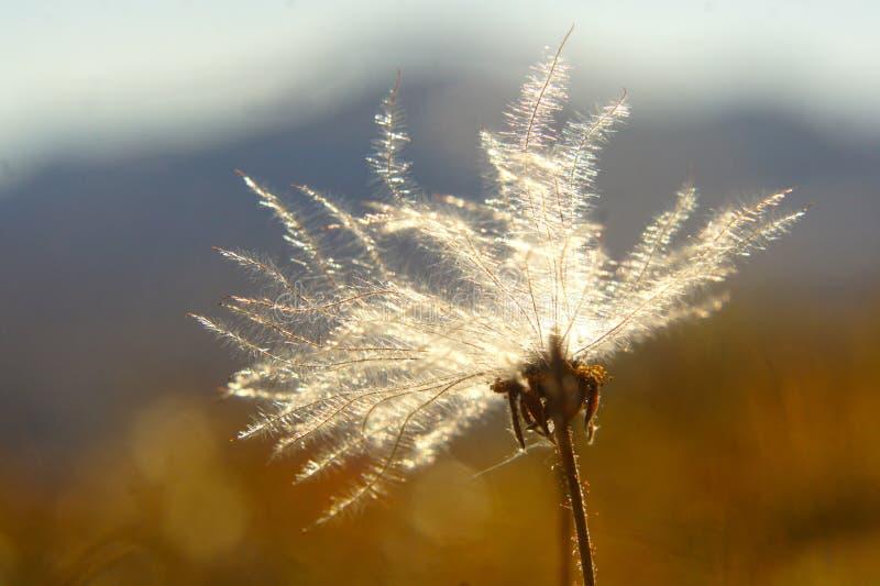 Download Alpine plant stock image. Image of sweden, alpine, light - 36738959