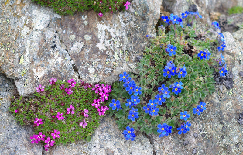 Alpine plants: Eritrichium nanum and Silene acaulis. Alpine cushions of Silene acaulis and Eritrichium nanum. They are circumpolar plants that grow at high vector illustration