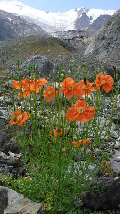 Alpine poppies and mountains royalty free stock image