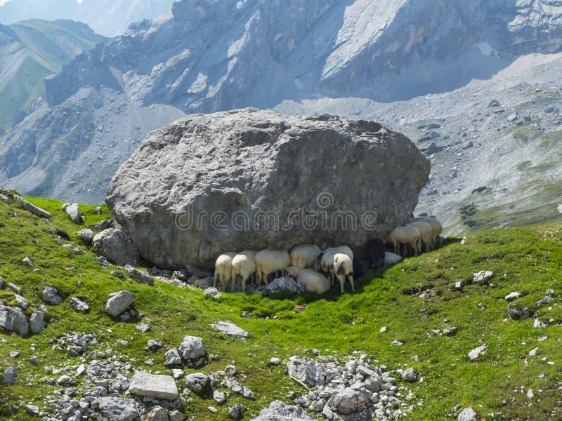 Alpine sheep stock image