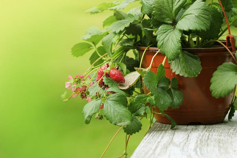 Alpine strawberry plant in pot with pink flower on green background royalty free stock photography
