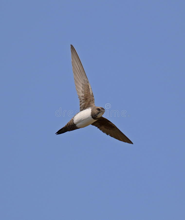 Alpine Swift stock photo