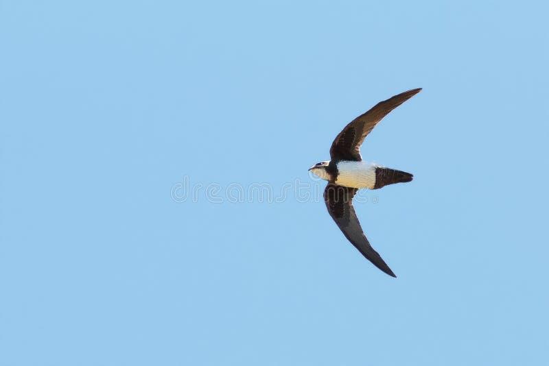 An Alpine Swift, Tachymarptis melba, in flight. An Alpine Swift, Tachymarptis melba, Apus melba, in typically fast flight. Seen isolated against clear, blue sky royalty free stock photos