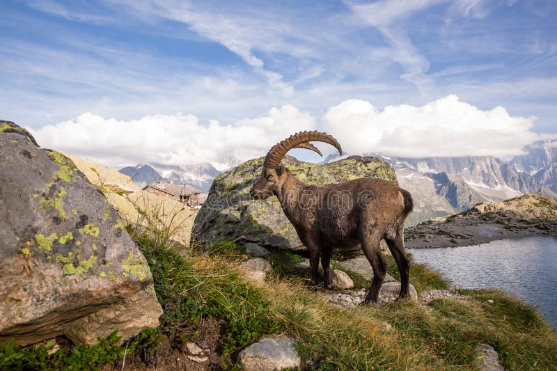 Alpine Wild Ibex Pausing in front of a Rock on a Sunny Summer Da. Y royalty free stock photography