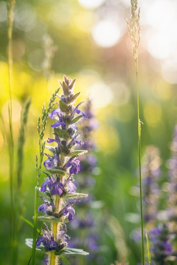 Alpine wilde Blumen des blauen Signalhorns lizenzfreie stockfotografie