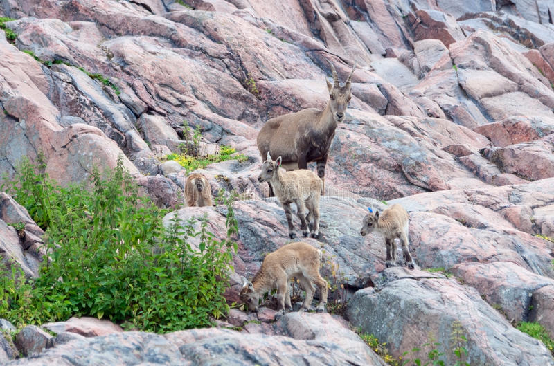 Alpiner Steinbock mit Kindern stockfoto