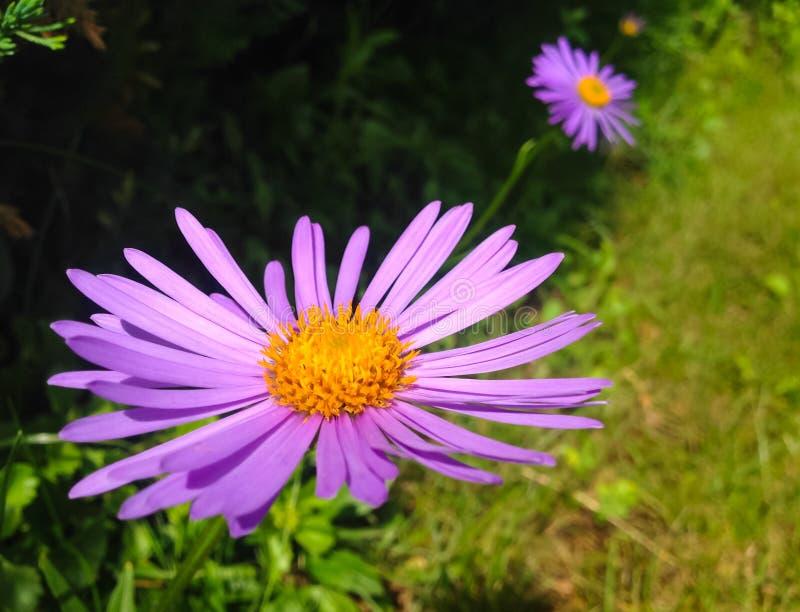 Alpines Aster-Aster alpinus Schöne purpurrote Blumen mit einer orange Mitte im Garten lizenzfreies stockbild