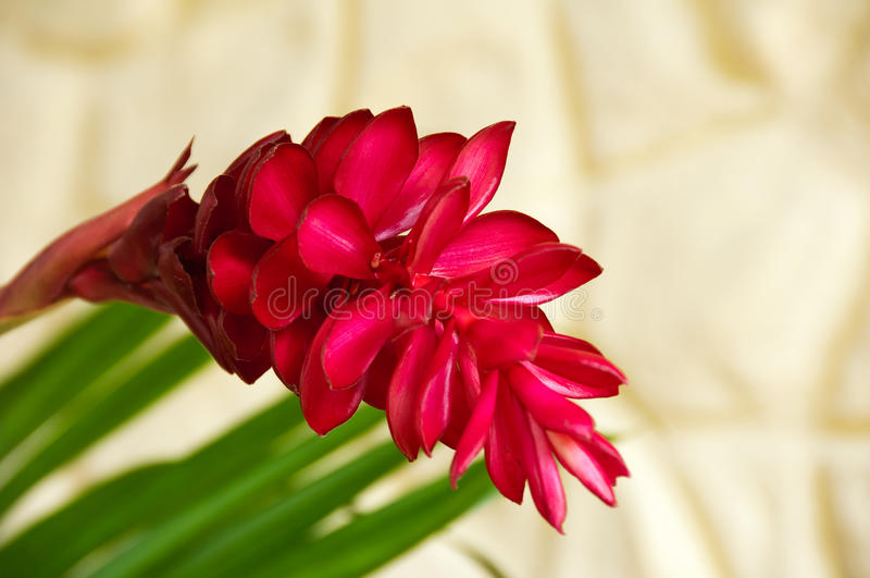 Alpinia Purpurata, familia del Zingiberaceae. fotografía de archivo