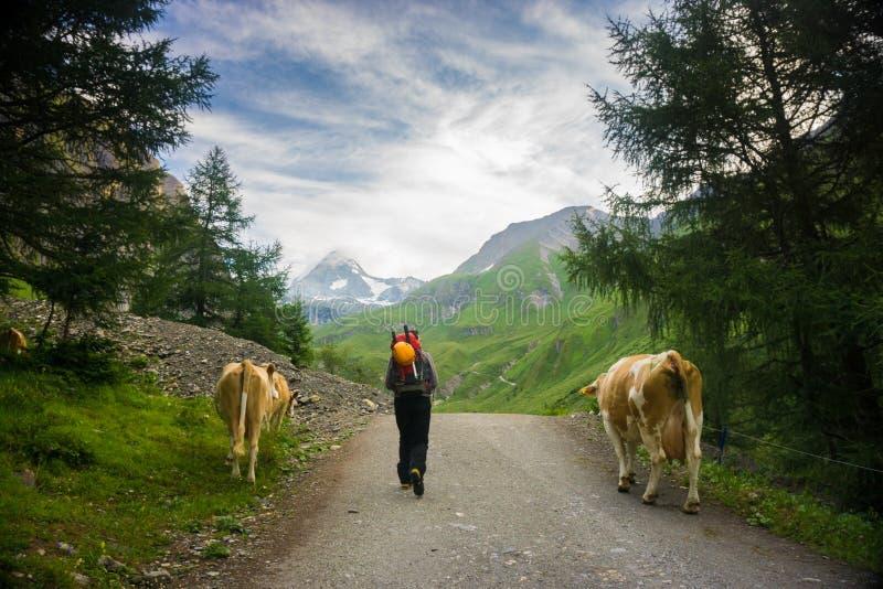 Alpiniste marchant à côté des vaches sur son chemin de monter Grossglockner image stock