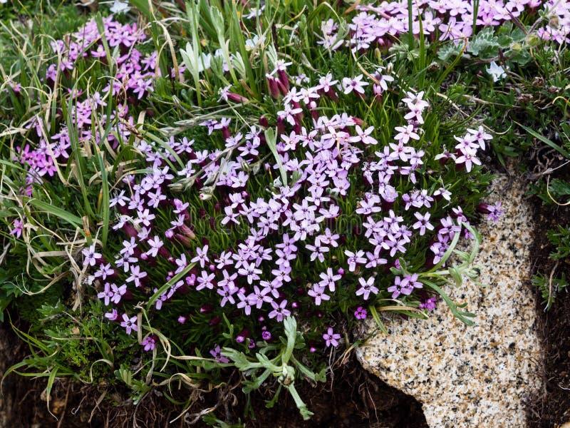 Alpint blomma för vildblommor arkivfoto