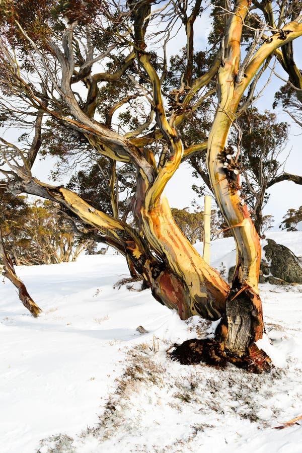 Alpint & x27; Snö Gum& x27; i Australia& x27; snöig bergregion för s royaltyfria foton