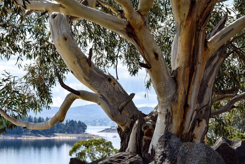 Alpint 'snögummi' på kusterna av sjön Jindabyne i Australien snöig bergregion arkivbild