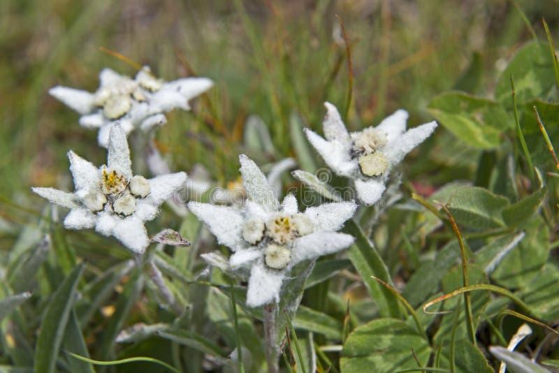 Alpinum del Leontopodium fotografía de archivo libre de regalías