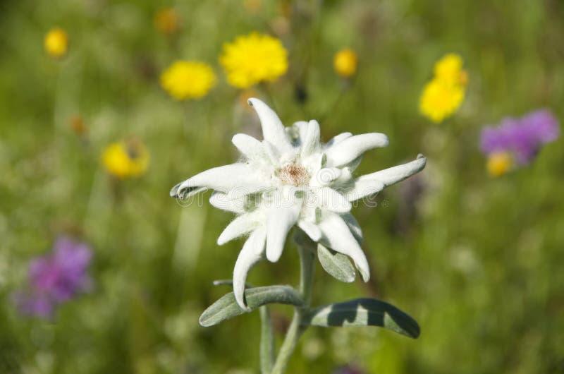 Alpinum do leontopodium de Edelweiss fotos de stock royalty free