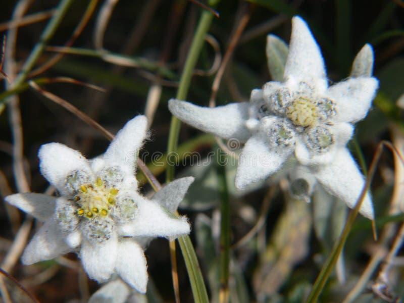 Alpinum do Leontopodium, Saboia, france foto de stock royalty free