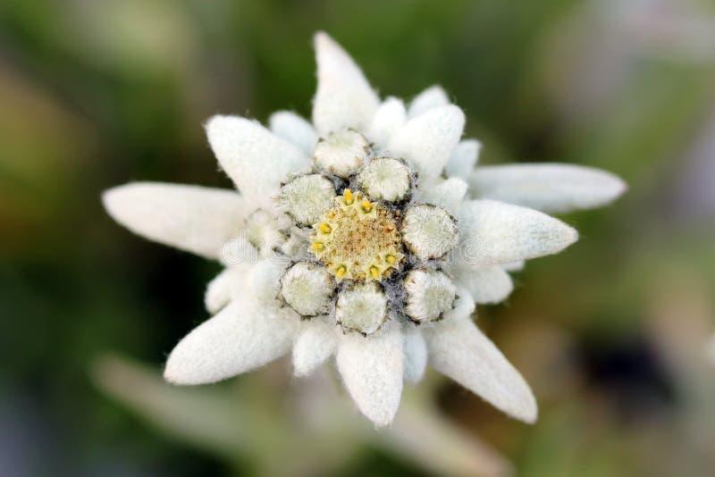 alpinum edelweiss火绒草属 免版税库存照片