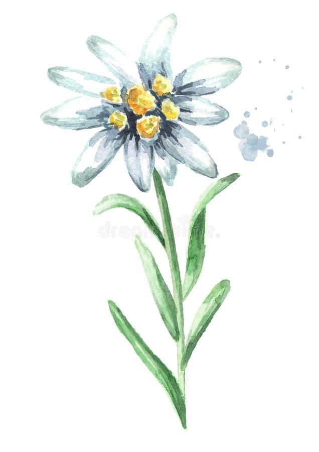 Alpinum Leontopodium λουλουδιών Edelweiss με τα φύλλα, συρμένη χέρι απεικόνιση Watercolor που απομονώνεται στο άσπρο υπόβαθρο στοκ εικόνες με δικαίωμα ελεύθερης χρήσης