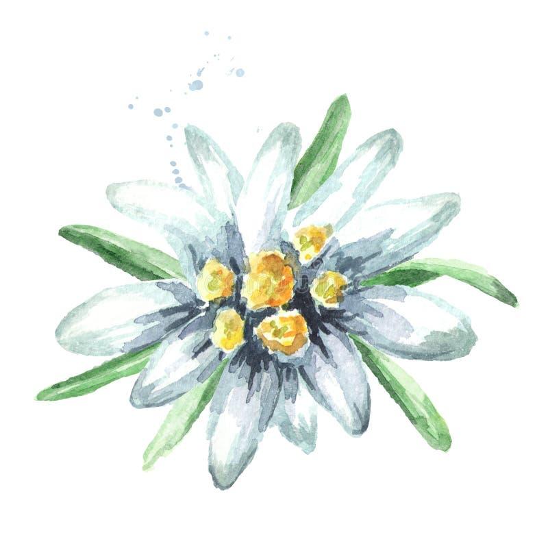 Alpinum Leontopodium λουλουδιών Edelweiss, συρμένη χέρι απεικόνιση Watercolor που απομονώνεται στο άσπρο υπόβαθρο στοκ φωτογραφία με δικαίωμα ελεύθερης χρήσης