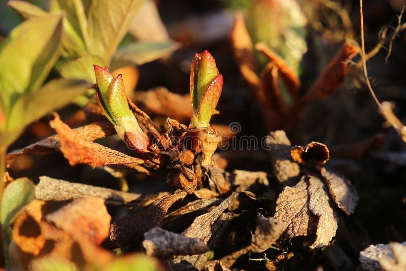 Alpinus del arctostaphylos, la gayuba alpina, con las hojas jovenes imágenes de archivo libres de regalías