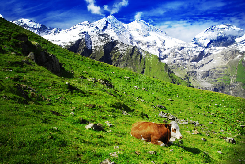 Alps and cows royalty free stock photo