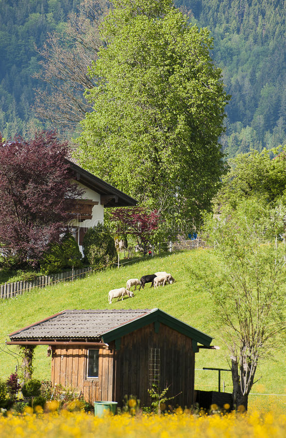 Alps and sheeps royalty free stock photos
