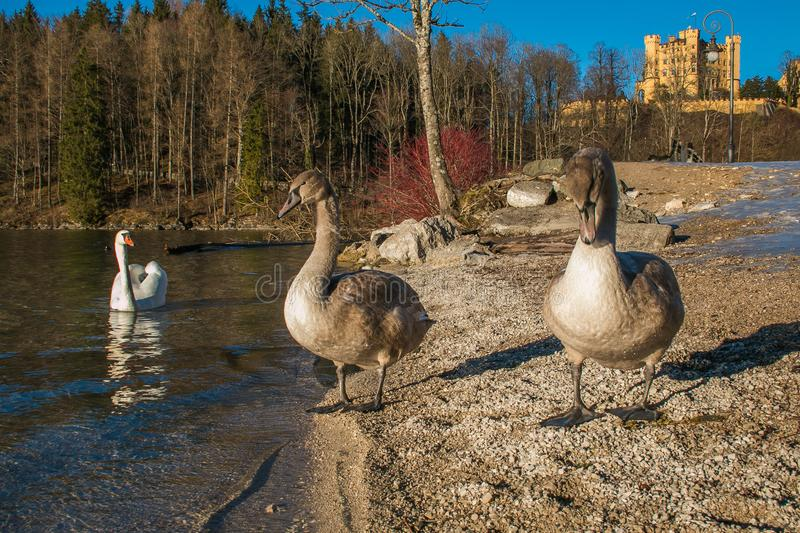 Alpsee lake with three swans with Hohenschwangau castle in the background stock image