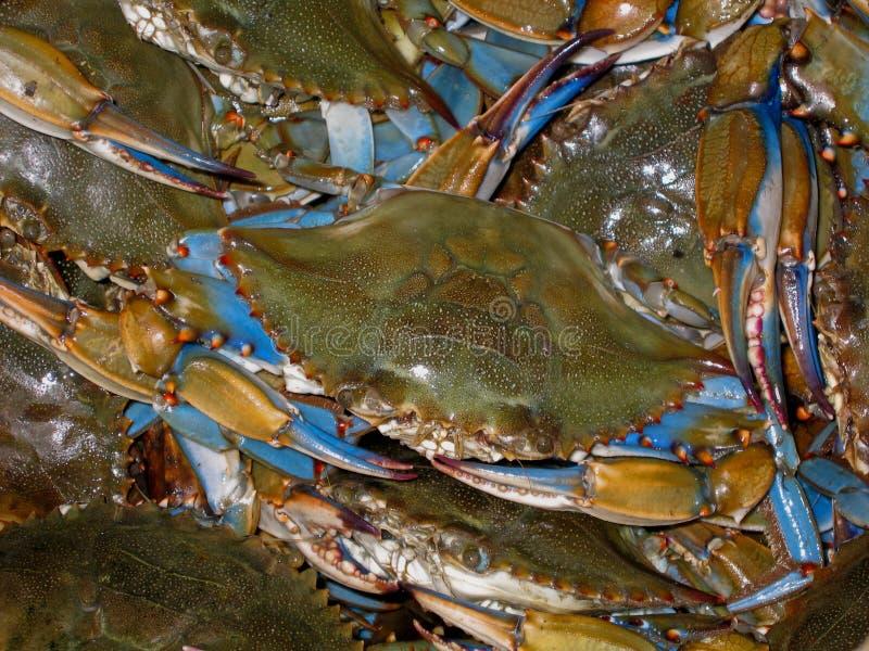 Alqueire de caranguejos azuis fotografia de stock royalty free
