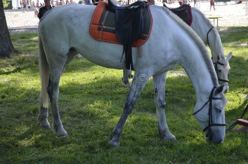 Alquiler del caballo foto de archivo libre de regalías
