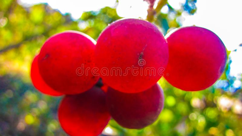 Already reached the bright red ruby berries of sweet grapes-2 and shine under the charming warm autumn evening sun. Close-up. M royalty free stock image