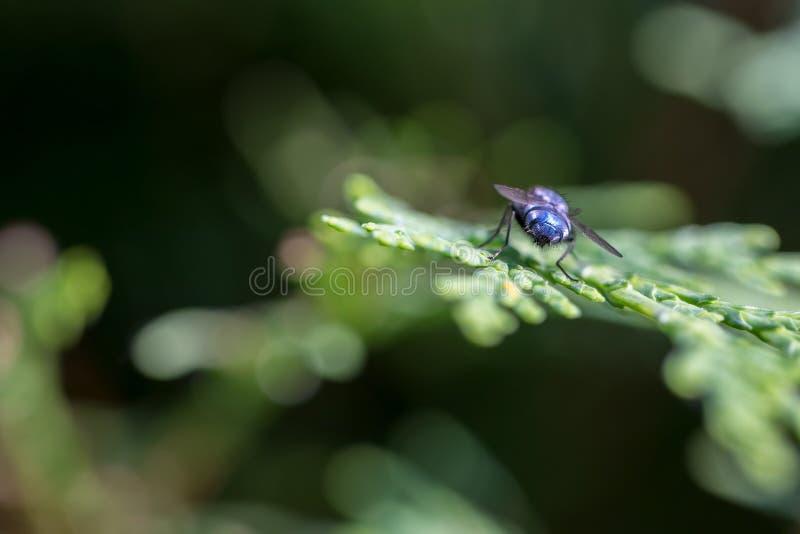 Als een blauw arsed vlieg Blauw-Arsed close-up van de vlieg het selectieve nadruk royalty-vrije stock afbeelding
