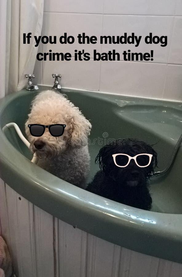 Als u de modderige hondmisdaad it& x27 doet; s badtijd royalty-vrije stock fotografie