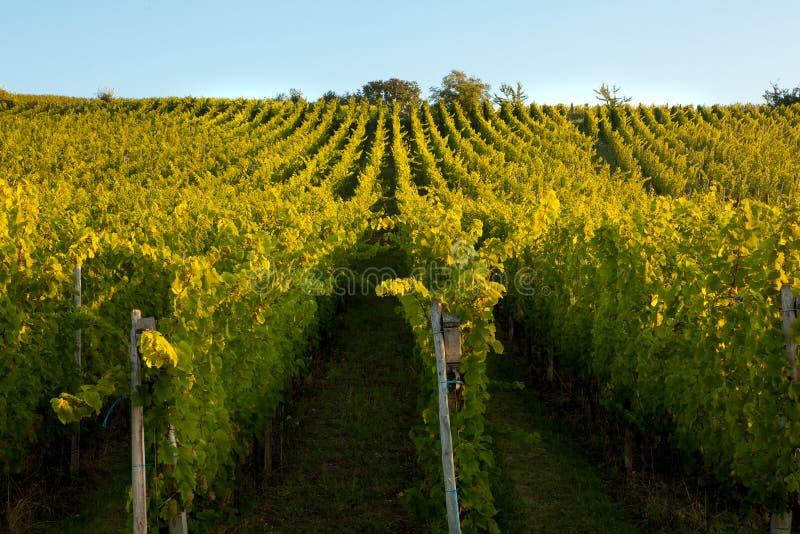 Download Alsace vines stock image. Image of plantation, field - 25377947