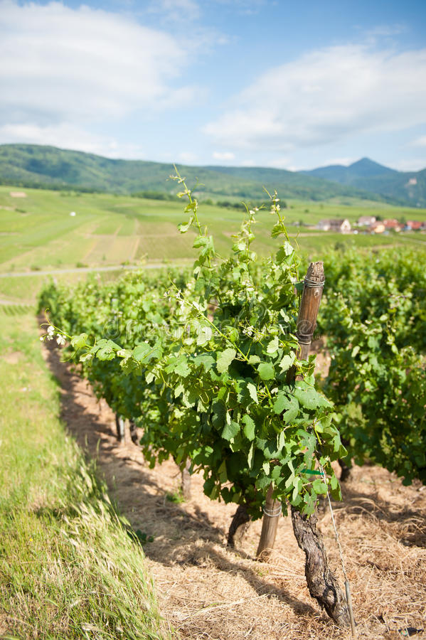 Download Alsace Vineyard stock image. Image of cloud, clouds, grapevine - 24666917