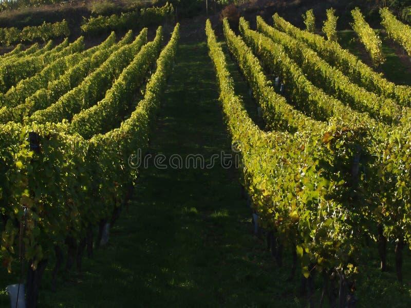 alsacian виноградники стоковое фото
