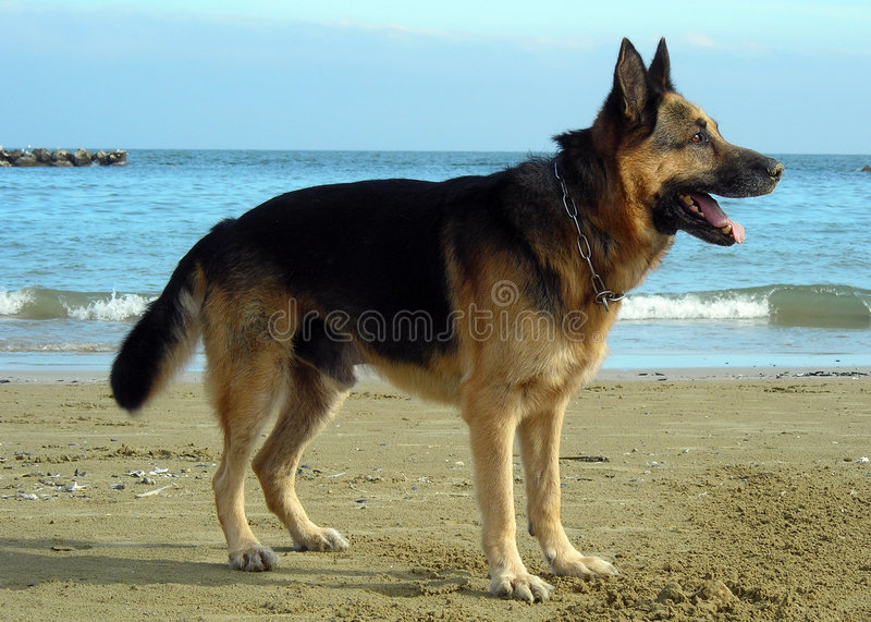 Download Alsatian on the beach stock photo. Image of happy, dogs - 1400664