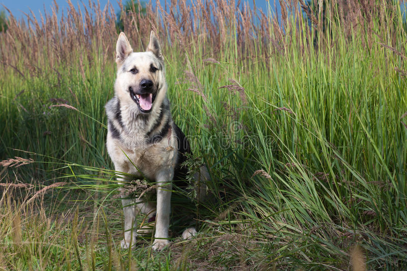 Download Alsatian dog stock image. Image of field, grass, weed - 20400847
