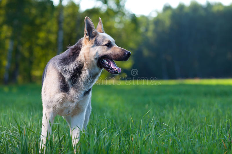 Download Alsatian dog stock image. Image of field, grass, standing - 20400849