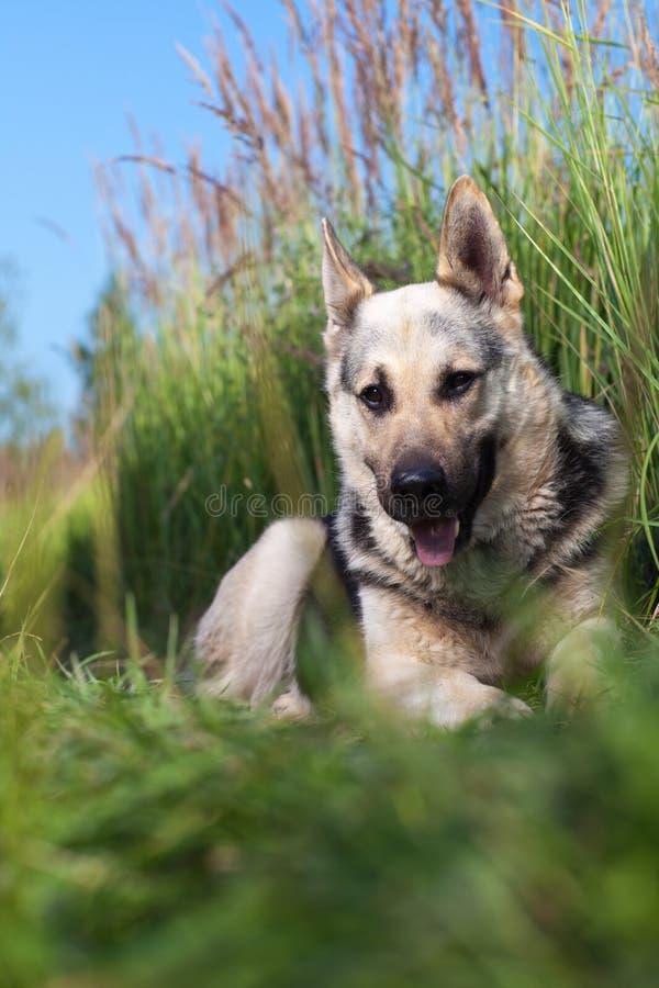 Download Alsatian dog stock image. Image of alsatian, vertical - 24263485