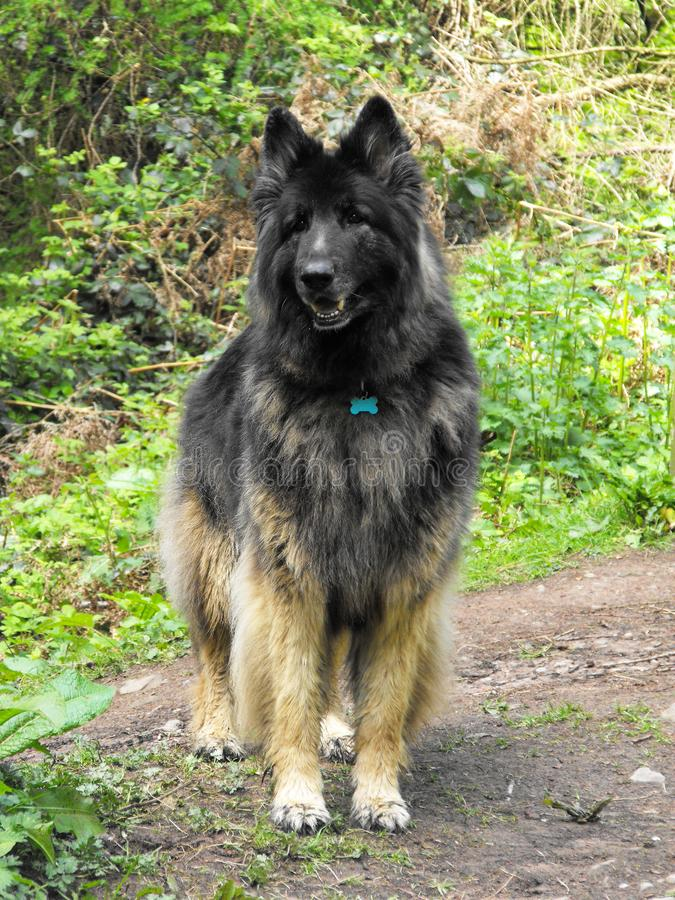 Alsatian dog in woodland clearing stock photo