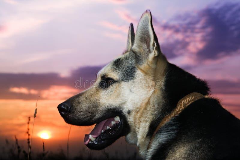 alsatian pies obrazy stock