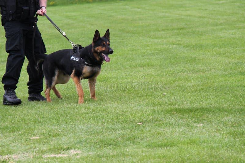 Alsatian Police Dog. An Alsatian Police Dog with the Trainer Handler stock photo