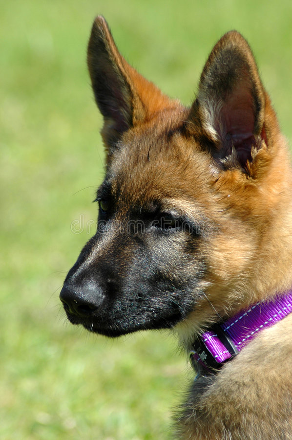 Download Alsatian puppy stock photo. Image of dogs, domestic, animal - 1276752