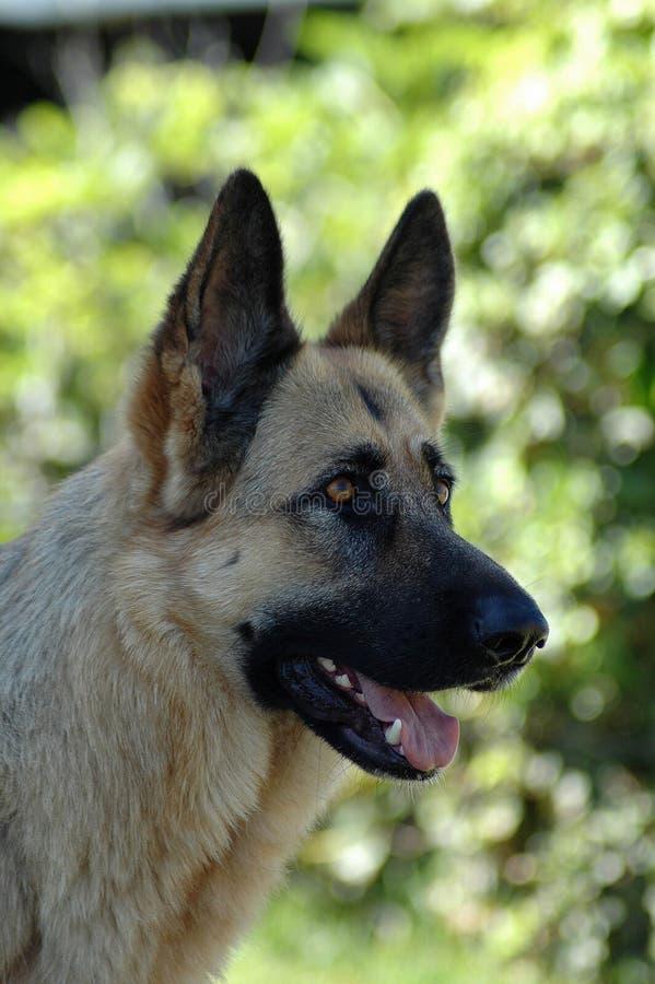 Alsatian Shepherd dog stock photos