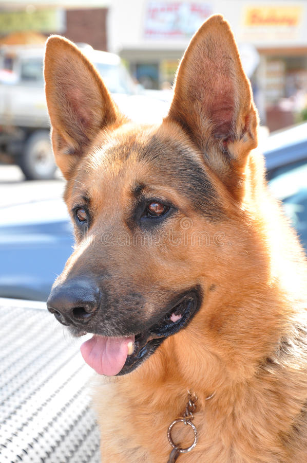 Alsation or German Shepherd dog stock photography