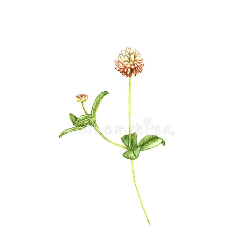 Alsike clover flower, drawing by colored pencils. Trifolium hybridum, hand drawn illustration stock illustration