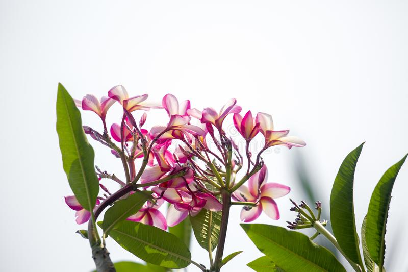 Lal Gulachin known as Lal Kath Golap. Botanical name Plumeria Rubra at Dhaka, Bangladesh. Also called Frangipani, plumeria is a subtropical or tropical flower stock photography