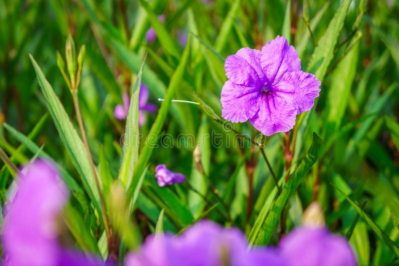 Purple Ruellia tuberosa flower. It is also known as minnieroot, fever root, snapdragon root, waterkanon, popping pod, duppy gun, cracker plant and sheep potato stock image
