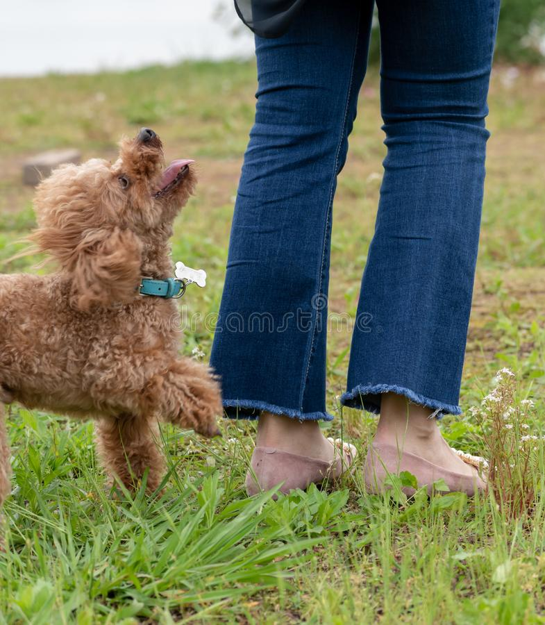 Interaction with the master-Poodle. Also known as `poodle`, also known as `curly dog`, in German, Pudel is `splash splash` meaning, is a dog subfamily canine stock image